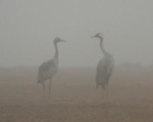Журавли в тумане