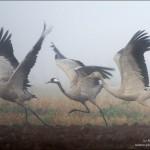 Журавли бегущие. Фото И. Барташова