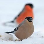 Снегирь. Фото И. Барташова