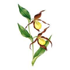 Венерин башмачок настоящий - Журавлиная Родина d9063a0f41dcb