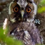 Ушастая сова. Фото: А. Куликова