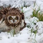 Болотная сова. Фото: О. Сидорова