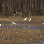 Лебедь кликун. Фото: О. Сидорова