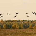 Отлет серых журавлей. Фото: О. Сидорова