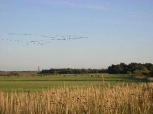 На учёте журавлей стаи летят недалеко от наблюдателя.