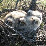 Гнездо ушастой совы в Костенево.