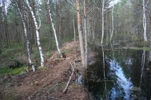 Дамба, удерживающая воду на болоте.