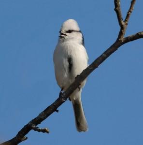 Белая лазоревка. Фото И.Барташова.