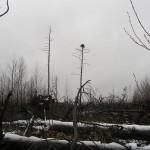 Гнездо скопы. Фото: О. Гринченко