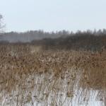 Тростниковое болото в пойме Дубны. Фото А.Рубановича