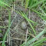 Гнездо сизой чайки. 8.06.2007