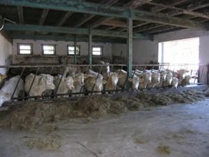 Вот такие коровы мясной породы могли бы быть и у нас. Но это Германия.