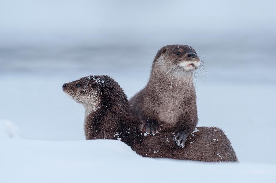 Выдры на снегу. Фото из инета.
